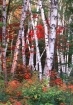 Shelburne birches...