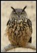 Xena Warrior Owl