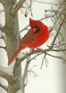 Male Cardinal in ...