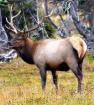 Young Bull Elk 10...