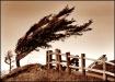 Sea Pine (a la Dr...