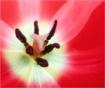 Tulip for mum