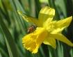 Bee on Yellow flo...