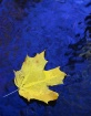 Yellow Leaf on Bl...