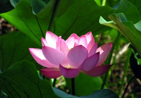 Lighted Lotus