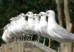 Pretty Gulls, All...