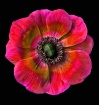 Hybrid Anemone