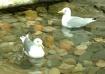 Pretty Seagulls