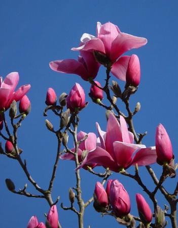 magnolia morning