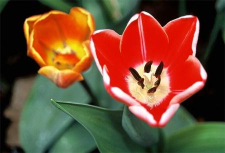 Variegated Red Tulip