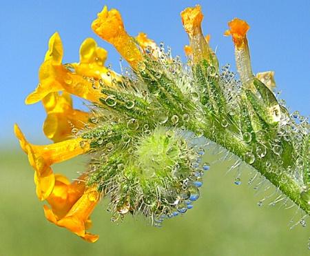 Fiddleneck Wildflower