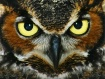 Great Horned Owl ...