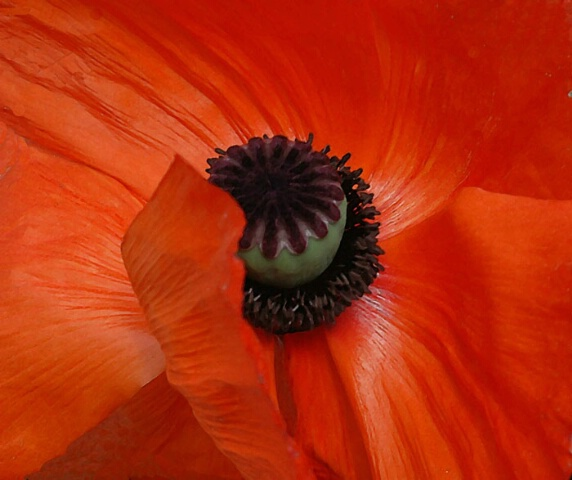 Resubmitted - Poppy