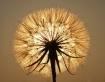 Shining Dandelion