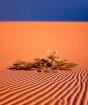 desert flowers...