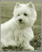 Westie from the N...