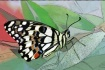 Painted Butterfly
