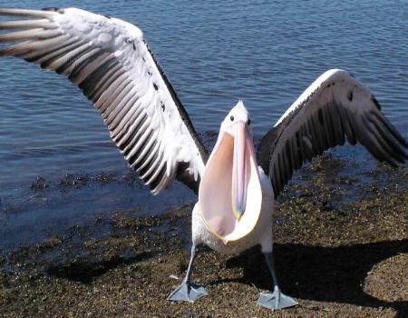 Pelican with Attitude.