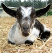 Cute Cuddly Goat