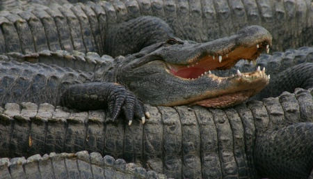 Ahh, Life is Great at the Alligator Farm