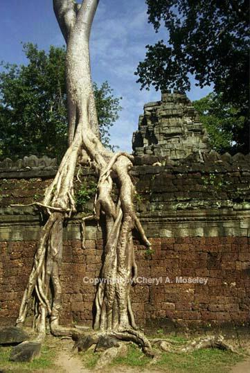 Creeping tree ancient ruins #2, Cambodia 25-6 - ID: 362435 © Cheryl  A. Moseley