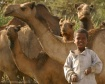 Among camels