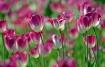 Tulip Festival 20...
