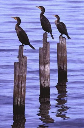 Three Cormorants on Posts