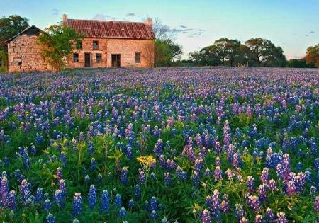 A Bluebonnet Spring