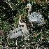 © Donald E. Chamberlain PhotoID# 366929: Male GB Heron Presenting Twig to Female
