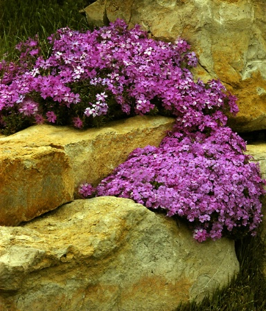 Phlox on the Rocks