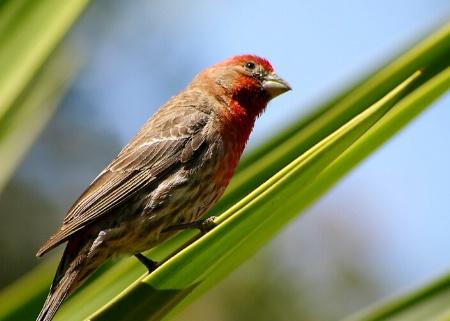 House Finch of Ensenada