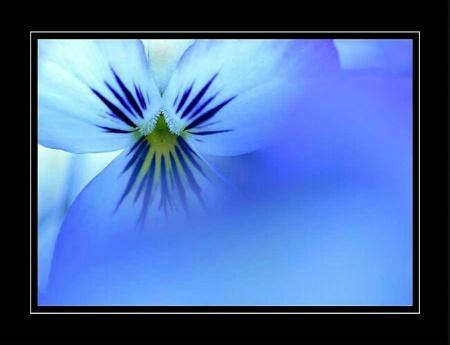 My Blue Period (pansies)