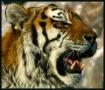 Tiger Tiger.........