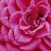My  Mini-Roses in...