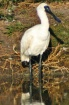 Young SpoonBill