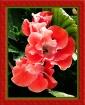 Begonias V