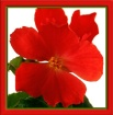 Begonias VI