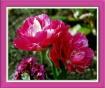 Fancy Tulip