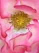 Sensual Rose Peta...