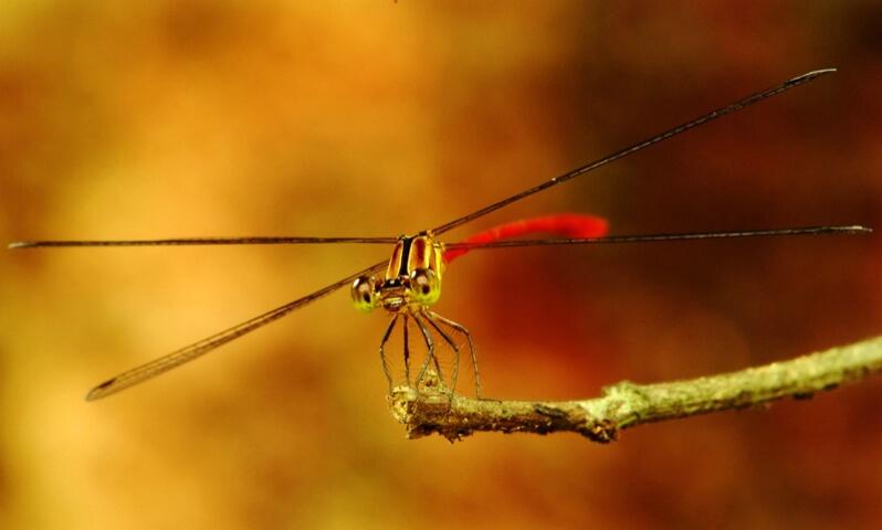 Dragonfly Closeup V2