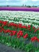 Shades of Tulips