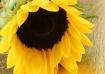 A Sun Flower 3