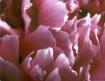 Peoney Petals