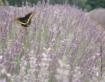 Lavender Fields F...