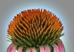 Glowing Echinacea