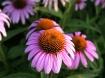 Echinacea purpure...