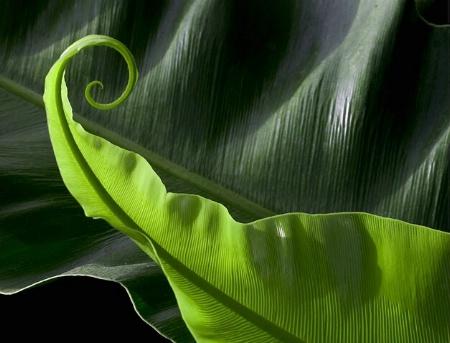 Birdsnest fern curl