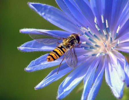 Bee on Blue..