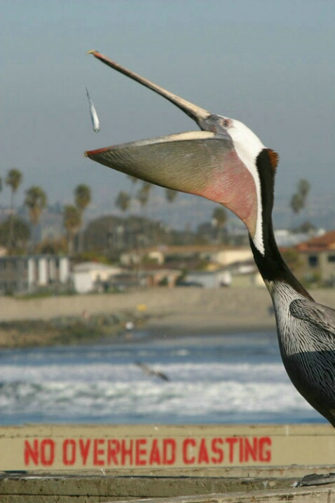 Pelican_5143 - ID: 557134 © Patrick L. McAvoy